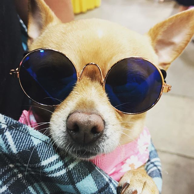 Hippie Puppy 🐶 at the Spring 2019 Holistic Expo 🕶 #puppy #love #puppylove #holistic #expo #mumexpo #kindredspiritsbooksandgifts