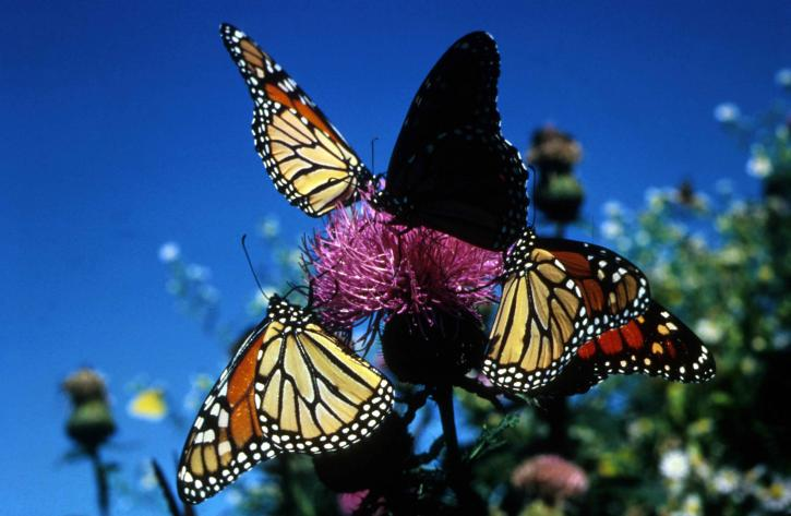 monarch-butterflies-insects-725x473.jpg