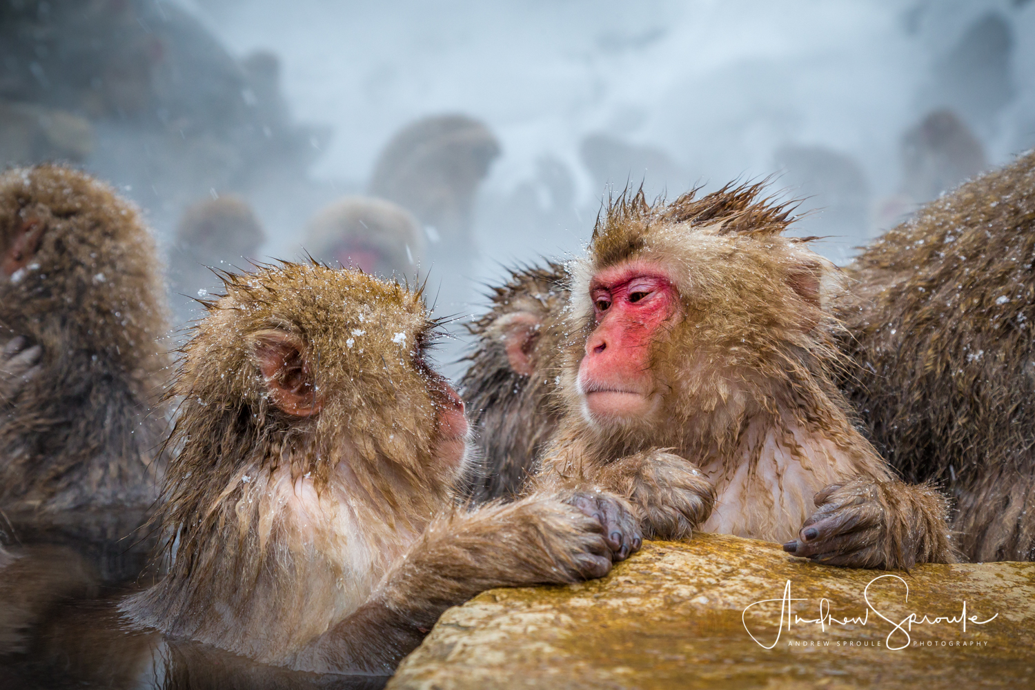 Japanese Macaques ( Macaca fuscata ), Snow Monkeys socialise in a thermal hot spring in Jigokudani, Japan