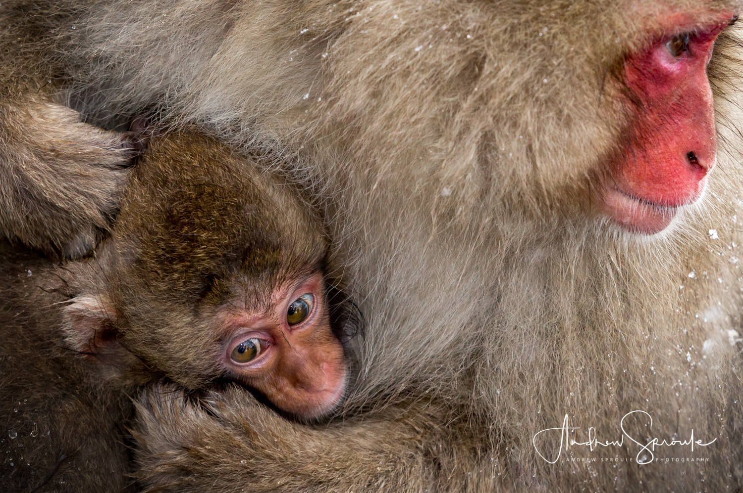 Snow Monkeys, Japanese Macaques ( Macaca fuscata ), mother and baby cuddle against the cold in Jigokudani, Japan