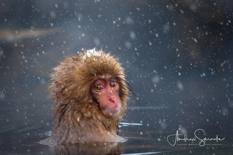 A young Snow Monkey, Japanese Macaque ( Macaca fuscata ),in a hot spring, in Jigokudani, Japan