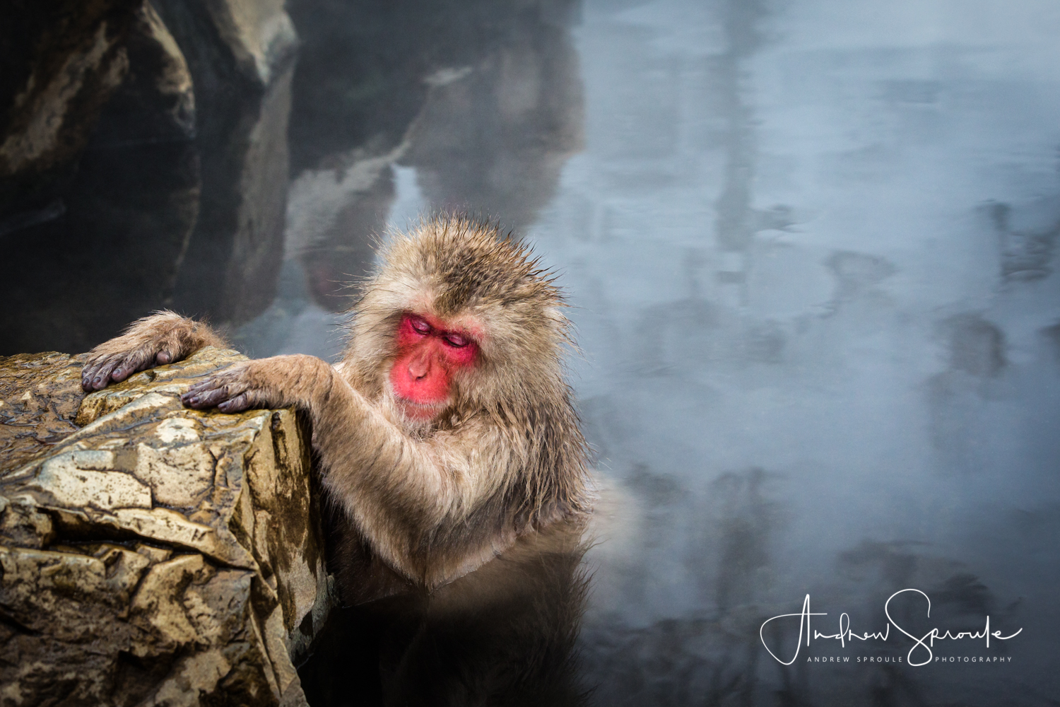 A Snow Monkey, Japanese Macaque ( Macaca fuscata ), sleeping in a thermal hot spring in Jigokudani, Japan