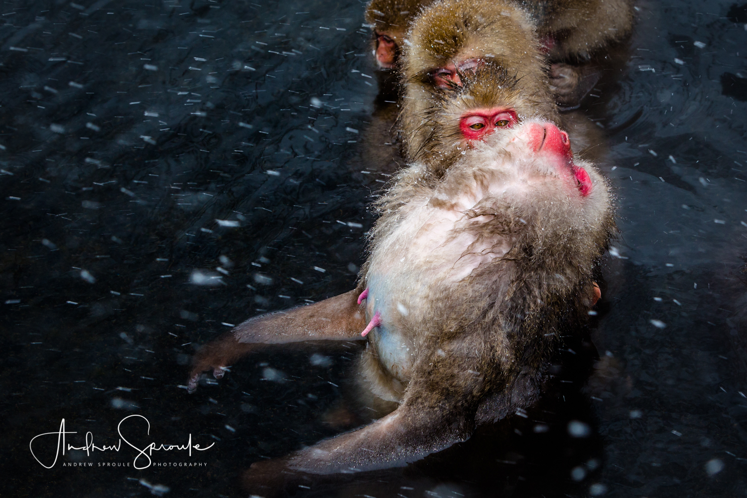 Snow Monkeys, Japanese Macaques ( Macaca fuscata ), grooming lineup in a thermal hot spring in Jigokudani, Japan