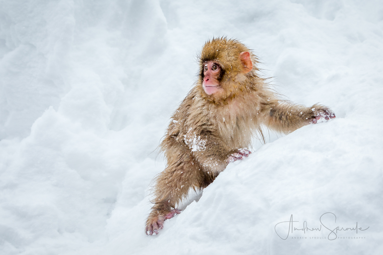 A cheeky baby Snow Monkey, Japanese Macaque (Macaca fuscata), in the snow in Jigokudani, Japan
