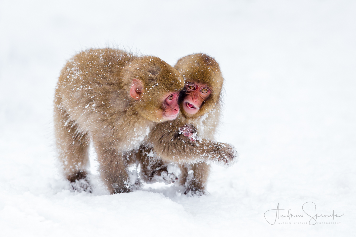 Snow Monkeys, Japanese Macaques (Macaca fuscata), playing in the snow in Jigokudani, Japan