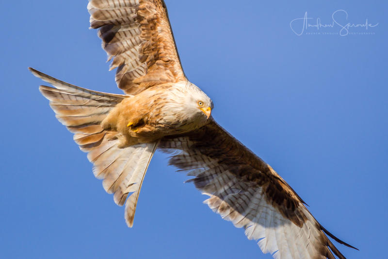 Andrew Sproule Photography | Wildlife + Travel | Red Kites at Gigrin Farm feeding station, Rhayader, mid-Wales