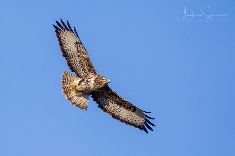 Andrew Sproule Photography | Wildlife + Travel | Common Buzzard at Gigrin Farm feeding station, Rhayader, mid-Wales