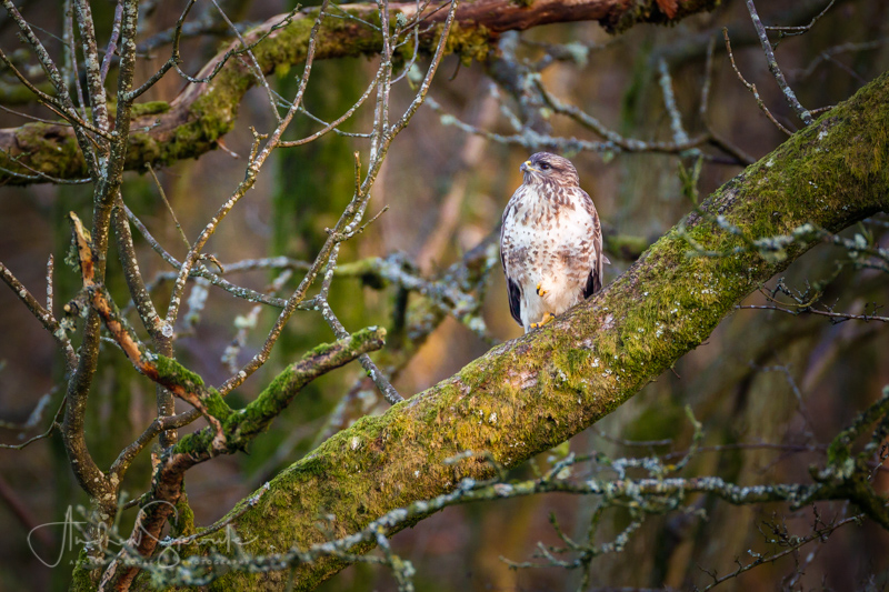 Andrew Sproule Photography   Wildlife + Travel   Common Buzzard at Gigrin Farm feeding station, Rhayader, mid-Wales