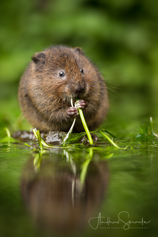 Andrew Sproule | Adventure & Wildlife Photographer | Water Vole, United Kingdom