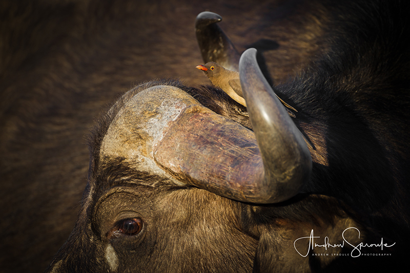 Andrew Sproule | Adventure and Wildlife Photographer | Cape Buffalo and Oxpecker | Moremi Game Reserve, Okavango Delta, Botswana, Africa