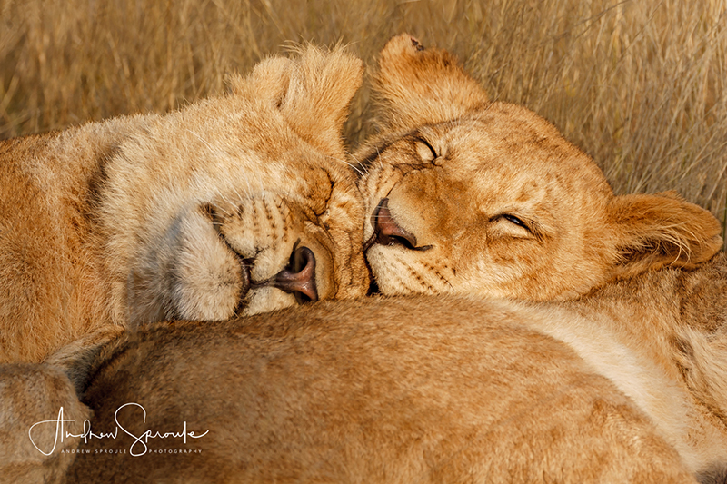 Andrew Sproule | Adventure and Wildlife Photographer | Lion Cubs | Moremi Game Reserve, Okavango Delta, Botswana, Africa