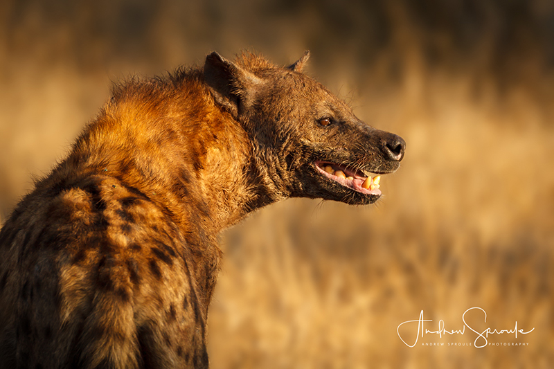 Andrew Sproule | Adventure and Wildlife Photographer | Spotted Hyena | Moremi Game Reserve, Okavango Delta, Botswana, Africa