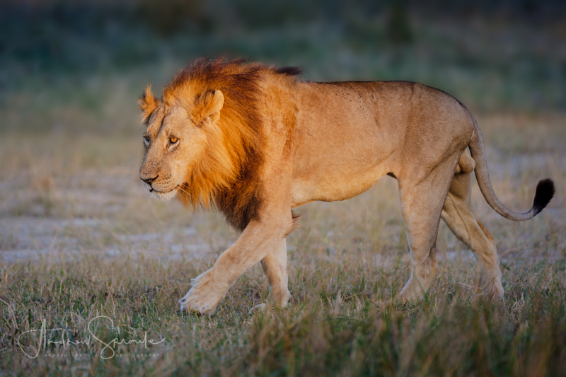 Andrew Sproule | Adventure and Wildlife Photographer | Pride Male Lion | Moremi Game Reserve, Okavango Delta, Botswana, Africa