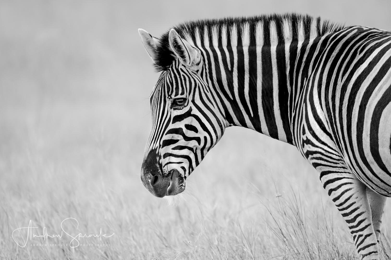 Andrew Sproule | Adventure & Wildlife Photographer | Plains Zebra, Okavango Delta, Botswana, Africa | Eternal Collection | Photo © Andrew Sproule