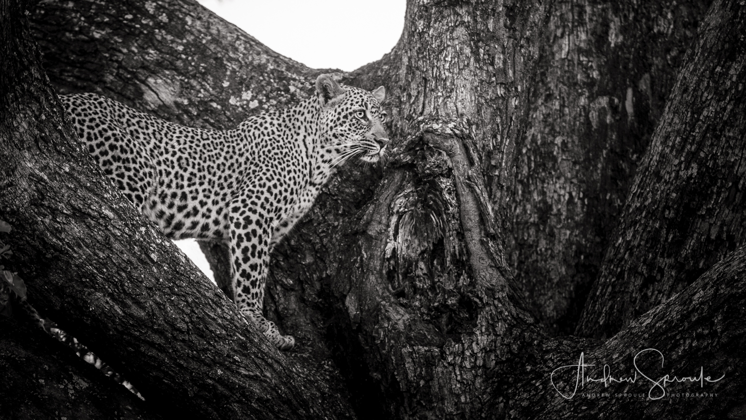 Andrew Sproule | Adventure and Wildlife Photographer | African Leopard, Kruger National Park, South Africa | Eternal Collection | Photo © Andrew Sproule