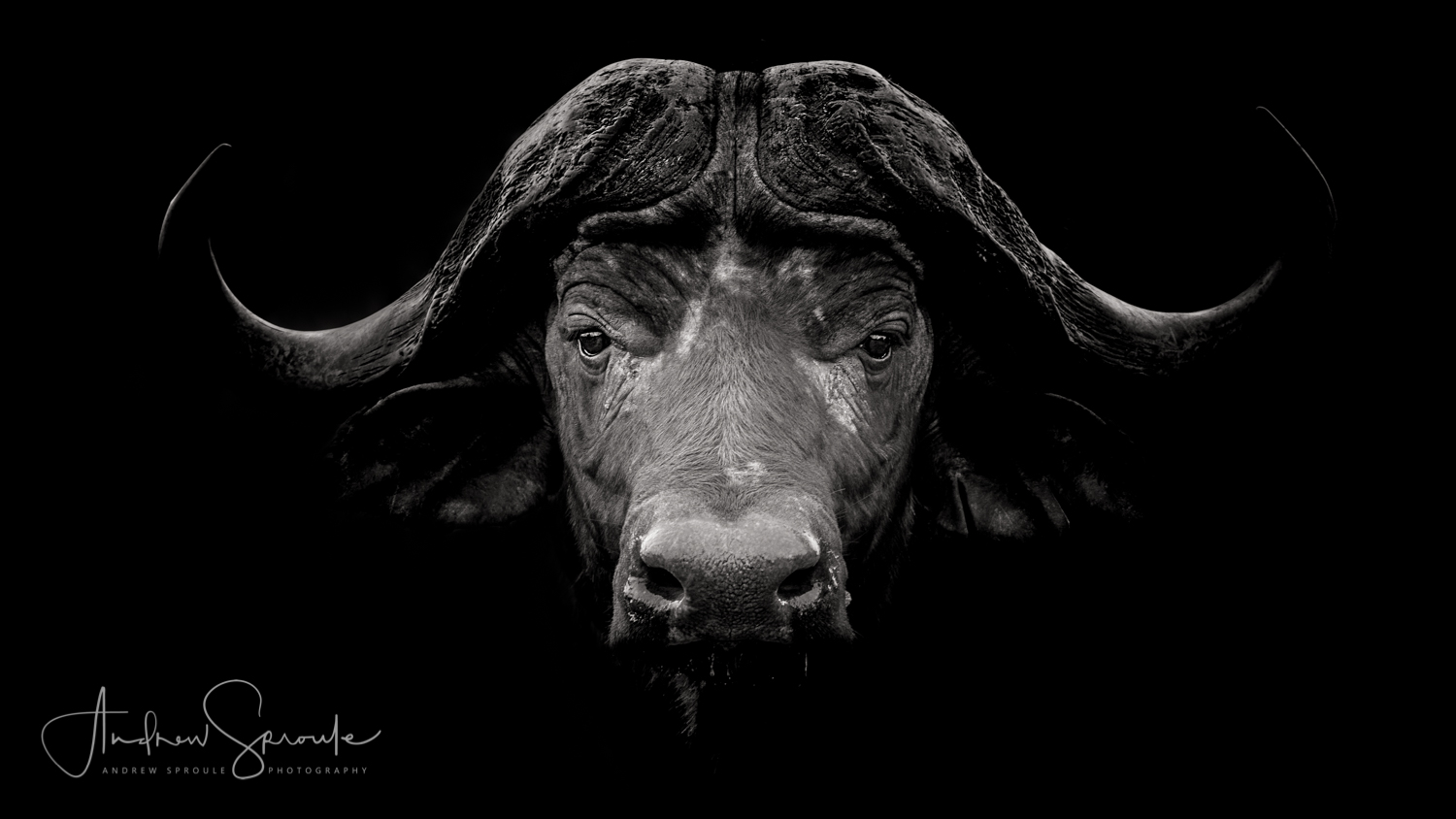 Andrew Sproule | Adventure and Wildlife Photographer | Cape Buffalo, Kruger National Park, South Africa | Eternal Collection | Photo © Andrew Sproule