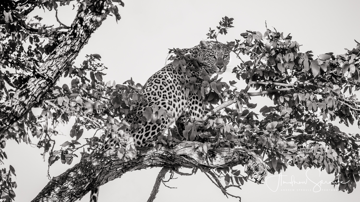 Andrew Sproule | Adventure & Wildlife Photographer | Leopard | Moremi Game Reserve, Okavango Delta, Botswana, Africa | Eternal Collection | Photo © Andrew Sproule