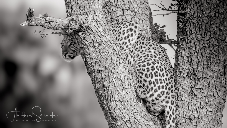 Andrew Sproule | Adventure & Wildlife Photographer | Leopard | Nxabega, Okavango Delta, Botswana, Africa | Eternal Collection | Photo © Andrew Sproule