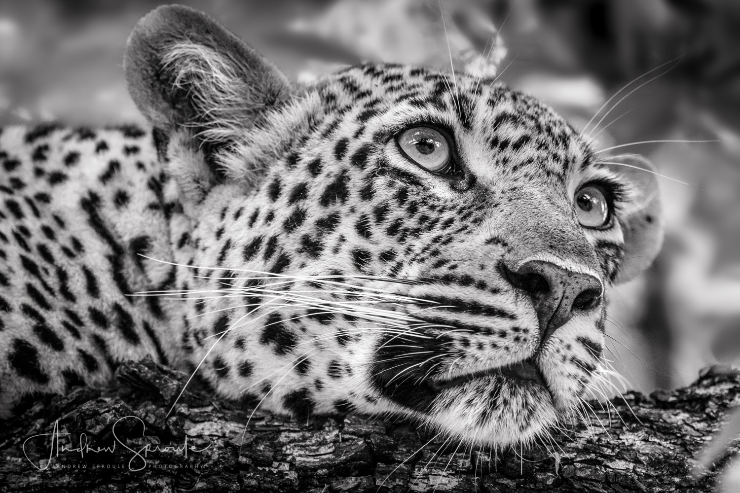 Andrew Sproule | Wildlife & Adventure Photographer | Leopard | Kruger National Park, South Africa | Eternal Collection | Photo © Andrew Sproule