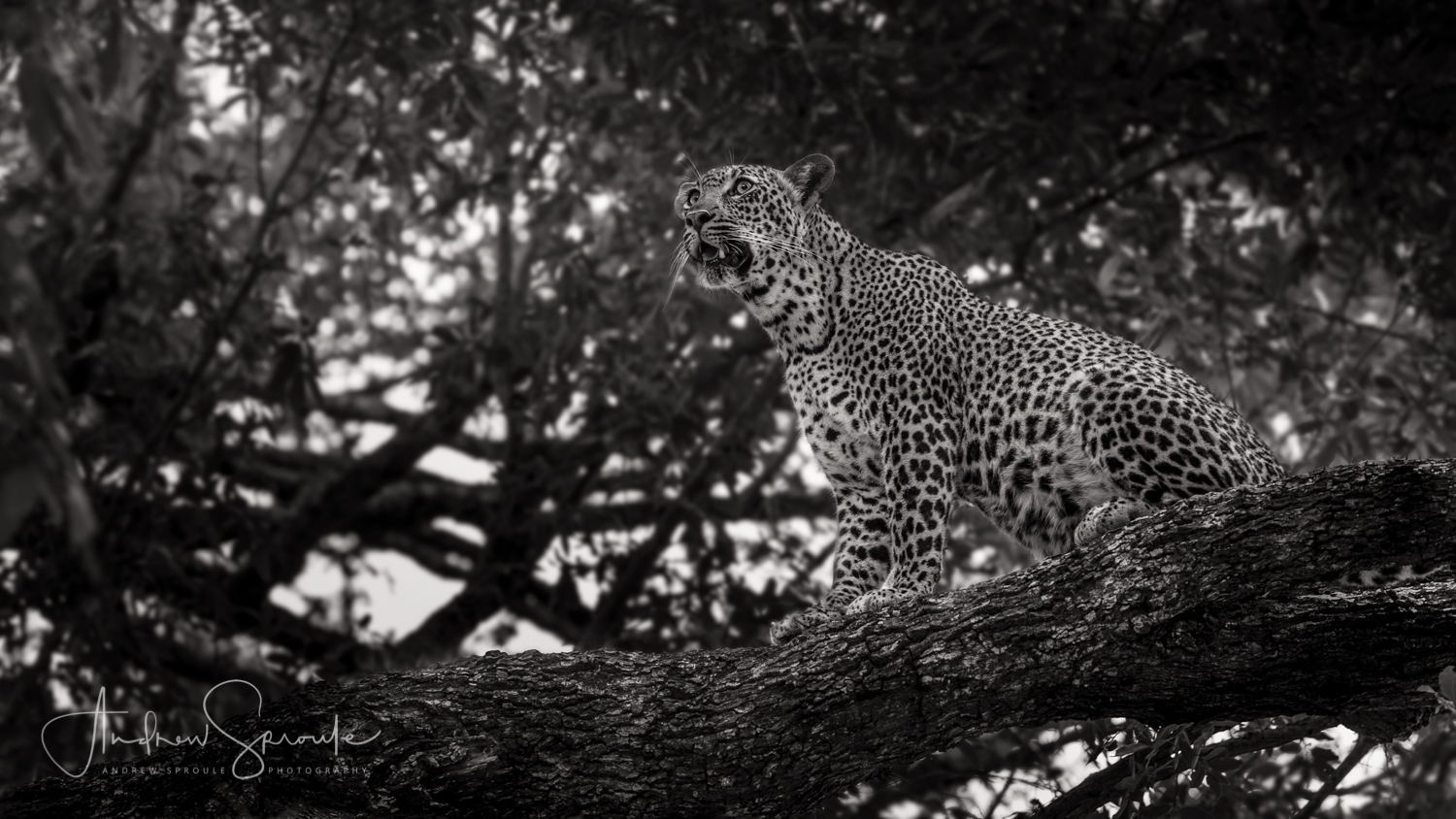 Andrew Sproule | Adventure & Wildlife Photographer | African Leopard, Kruger National Park, South Africa | Eternal Collection | Photo © Andrew Sproule