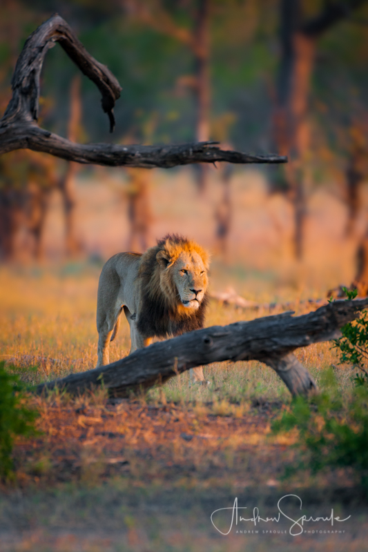 Andrew Sproule | Wildlife and Adventure Photographer | Pride Male Lion | Moremi Game Reserve, Botswana | Photo © Andrew Sproule