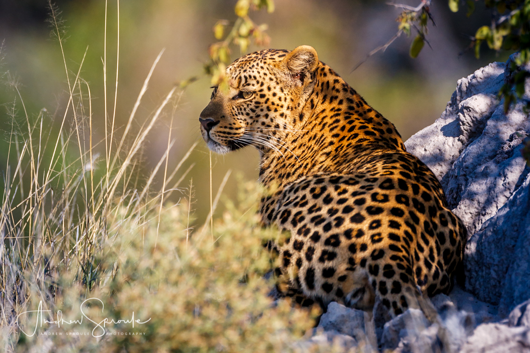 Andrew Sproule   Wildlife and Adventure Photographer   Female Leopard   Moremi Game Reserve, Botswana   Photo © Andrew Sproule