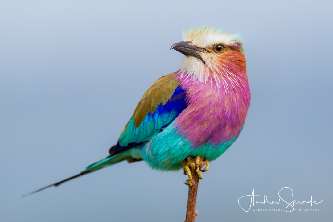 Andrew Sproule   Wildlife and Adventure Photographer   Lilac Breasted Roller   Motswari Game Reserve, Kruger National Park, South Africa   Photo © Andrew Sproule