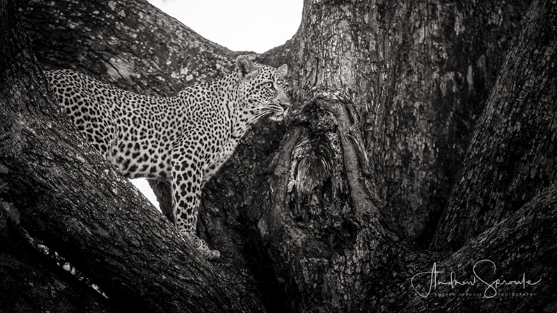 Young female Leopard in Timbavati, South Africa | Handheld Canon 1Dx | Canon 70-200mm f/2.8 (at f/2.8 and at 105mm) | ISO 400 | 1/125th sec | Image © Andrew Sproule Photography