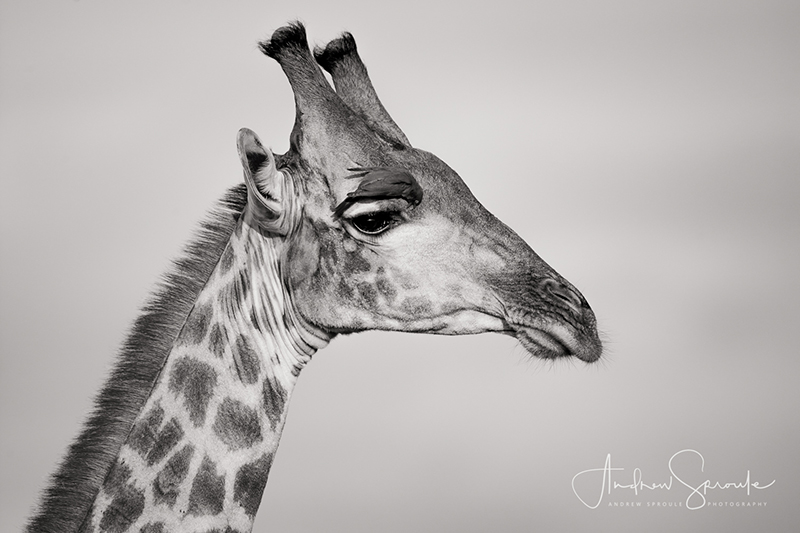 Male Giraffe in Moremi Game Reserve, Botswana, Africa | Canon 1Dx | Canon 500mm f/4 on Gitzo Monopod | f/5.6 | ISO 200 | 1/1000th sec | Image © Andrew Sproule Photography