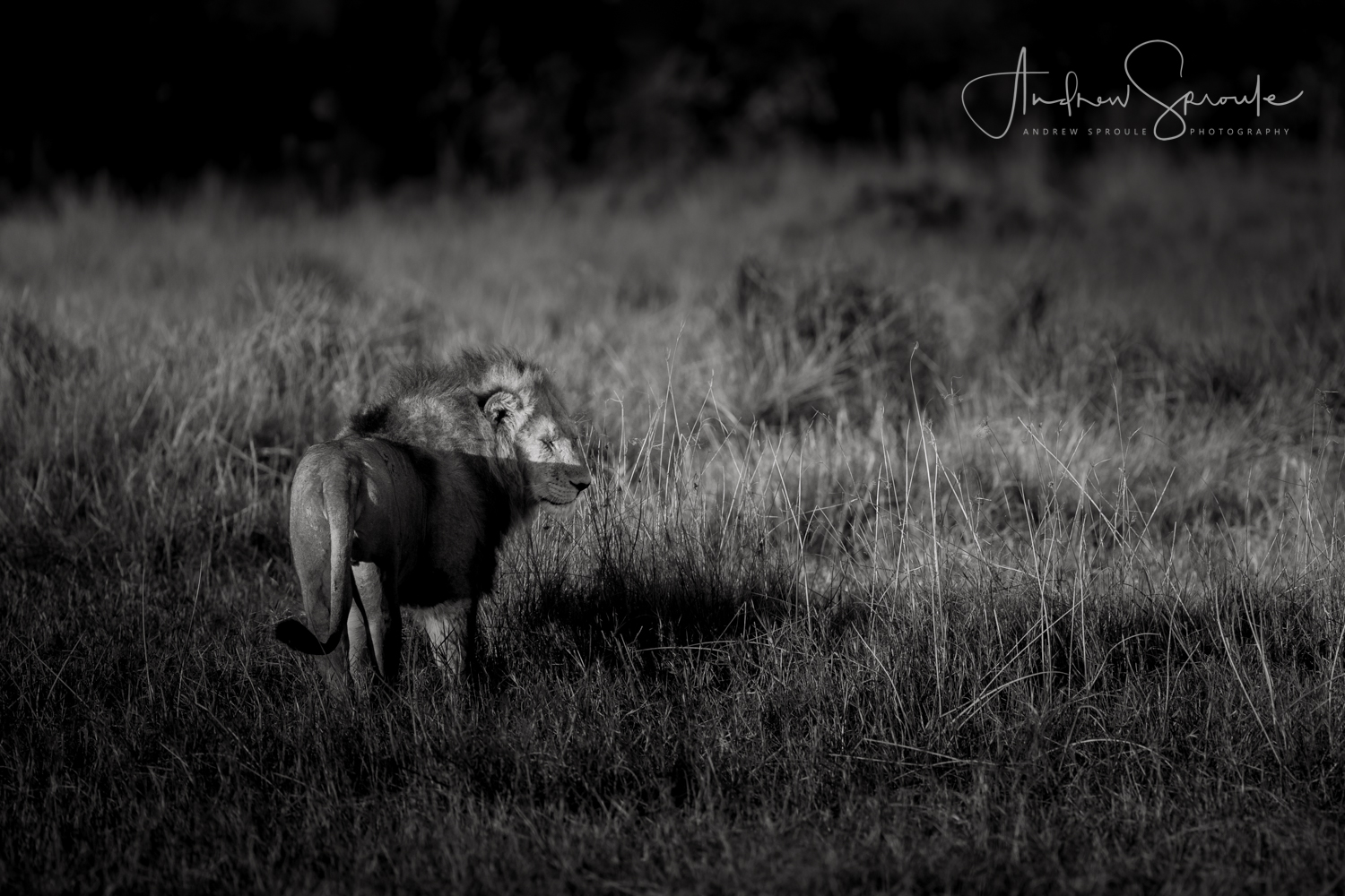 Andrew Sproule | Wildlife and Adventure Photographer | Pride Male Lion, Moremi Game Reserve, Botswana, Africa | Eternal Collection | Image © Andrew Sproule