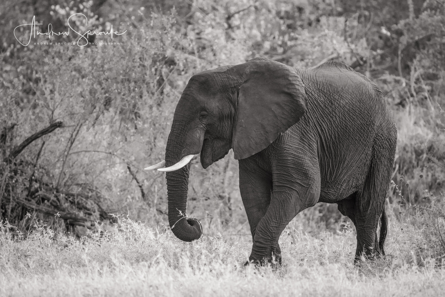 Andrew Sproule | Wildlife and Adventure Photographer | Young male Elephant, Timbavati Private Game Reserve, South Africa | Eternal Collection | Image © Andrew Sproule