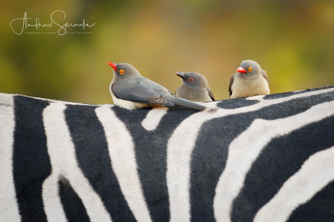 botswana-wildlife-photo-safari-andrew-sproule-photography.jpg