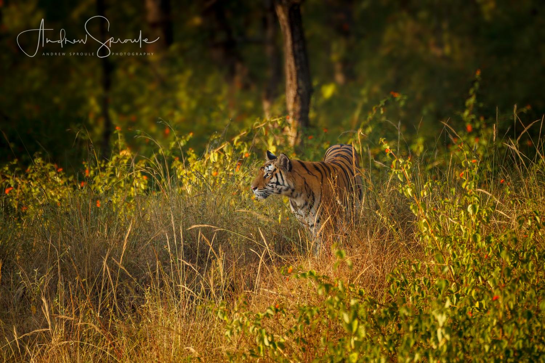 india-wildlife-photo-safari-andrew-sproule-photography.jpg