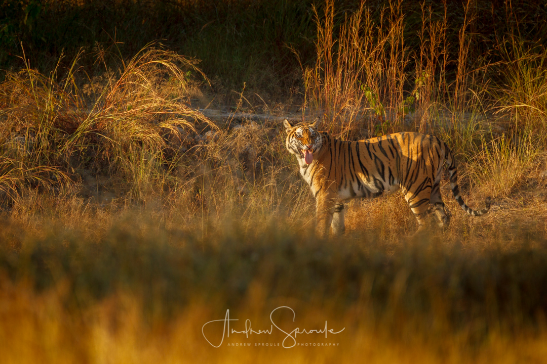 india-wildlife-photo-safari-andrew-sproule-photography.jpg