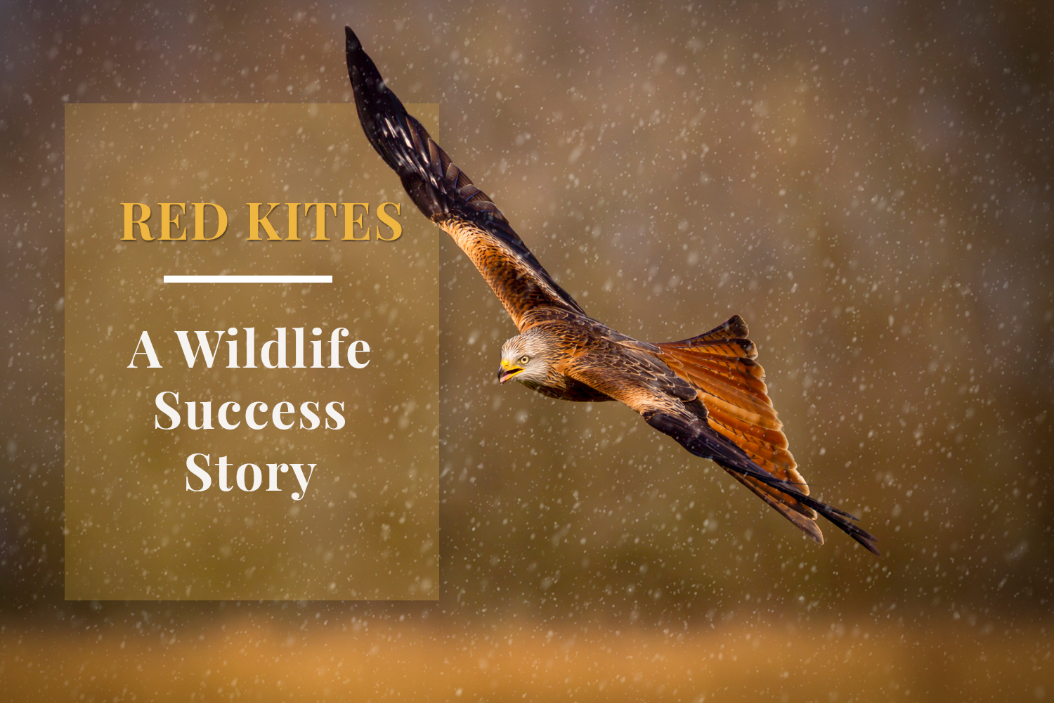 Andrew Sproule Photography | Red Kites | A Wildlife Success Story