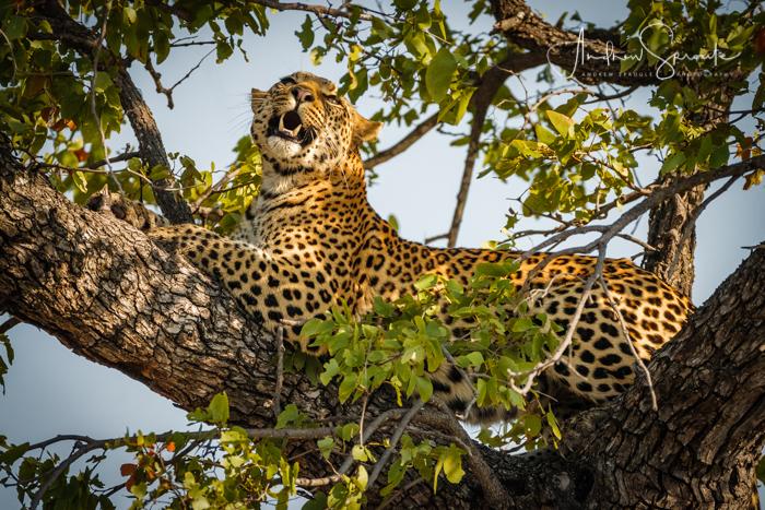 andrew-sproule-photography-leopard-resting-okavango-delta-botswana-africa.jpg