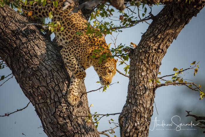 andrew-sproule-photography-leopard-okavango-delta-botswana-africa.jpg