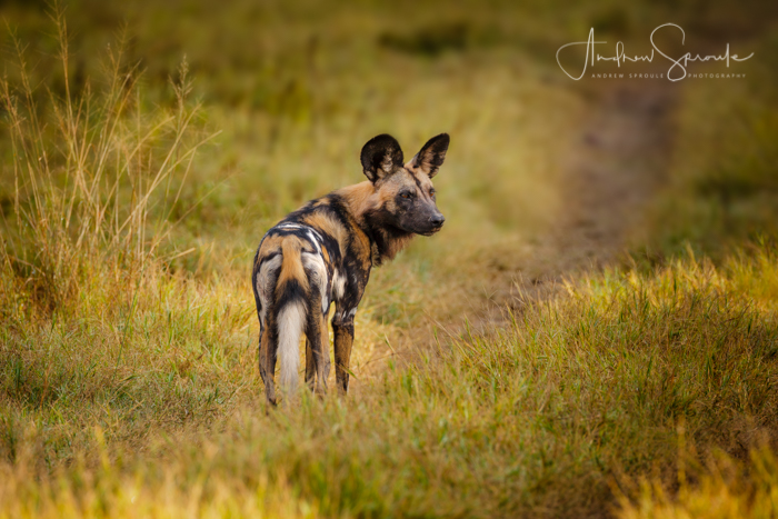 5 Interesting Facts | African Wild Dogs