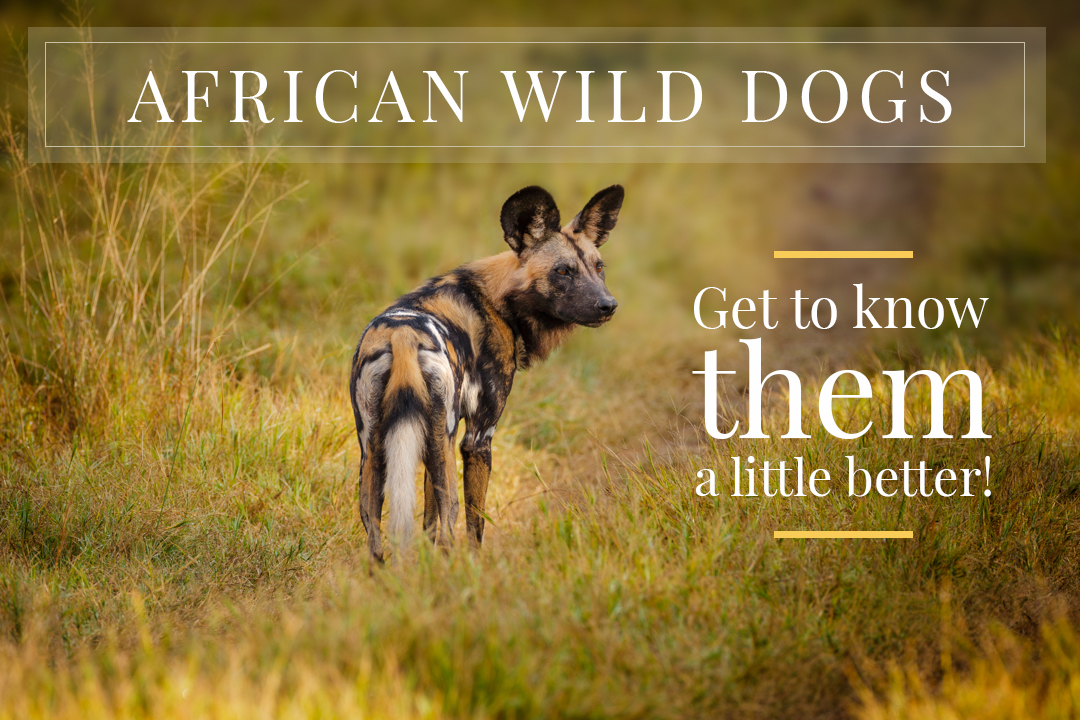 andrew-sproule-photography-african-wild-dogs-5-interesting-facts.jpg