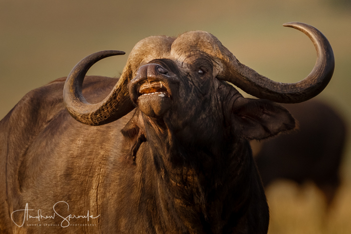 andrew-sproule-photography-african-buffalo-smelling-masai-mara-kenya.jpg