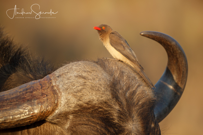 andrew-sproule-photography-african-buffalo-and-oxpecker-masai-mara-kenya.jpg