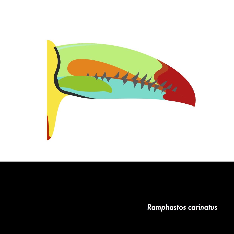 02-RamphastosCarinatus.jpeg