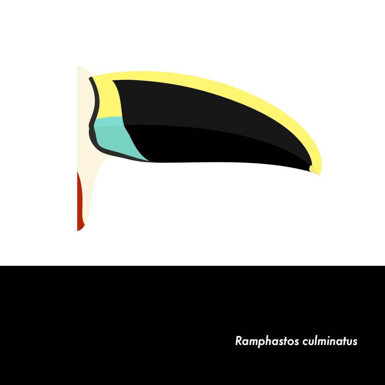 11-RamphastosCulminatus.jpeg