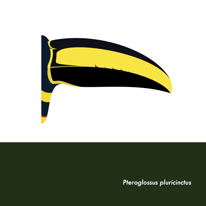 17-PteroglossusPluricinctus.jpeg