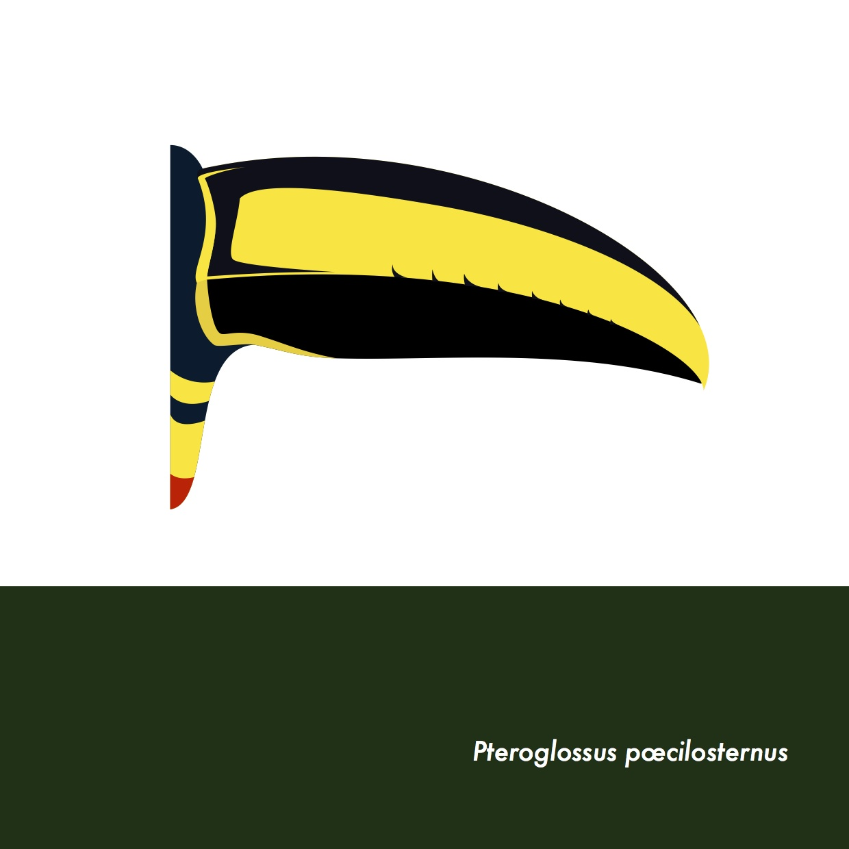18-PteroglossusPoecilosternus.jpeg