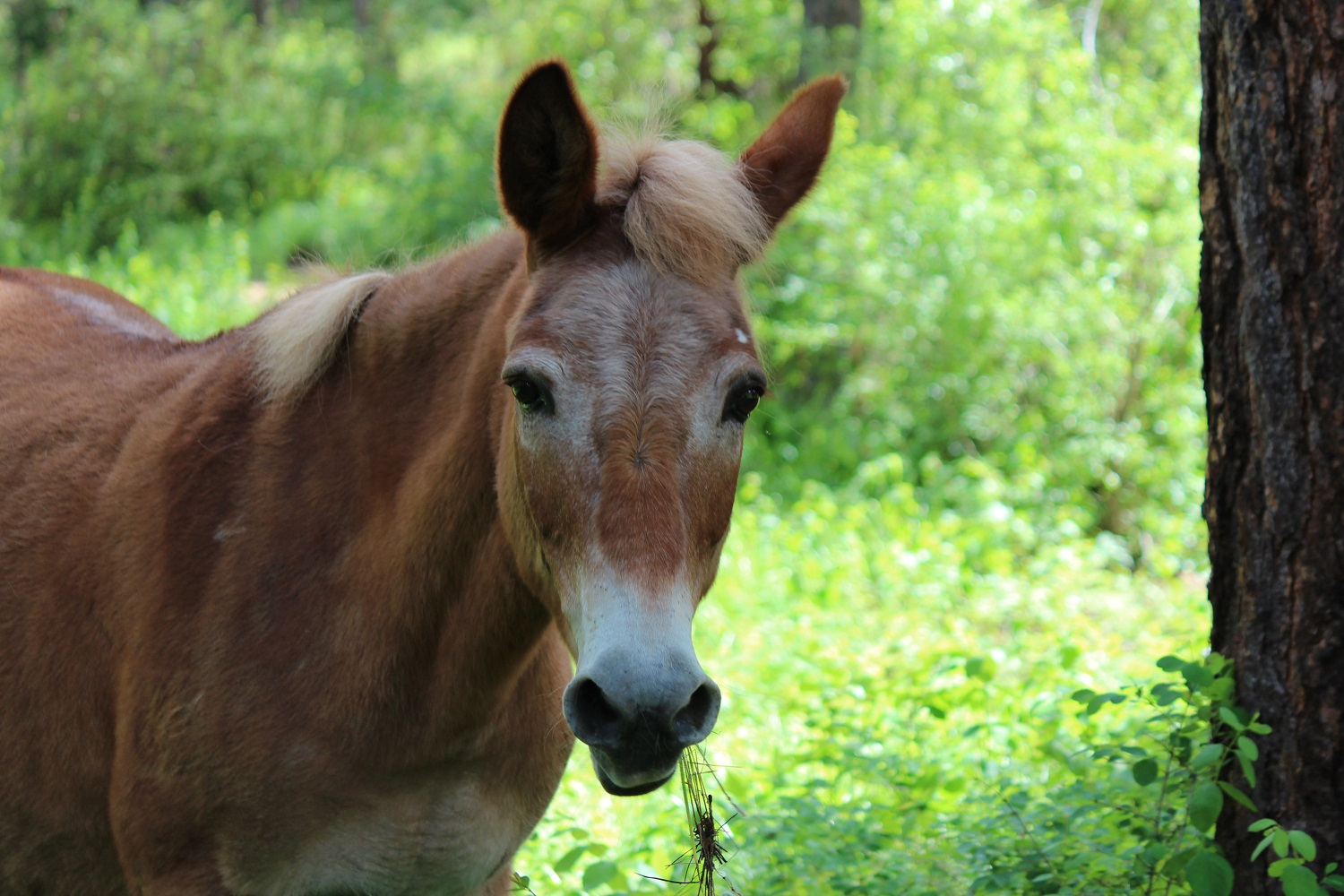 Tina, retired WY ranch mule