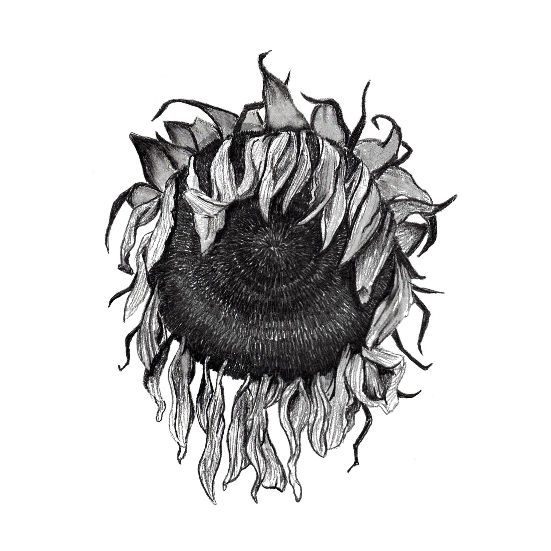 Sunflower_dead.jpg
