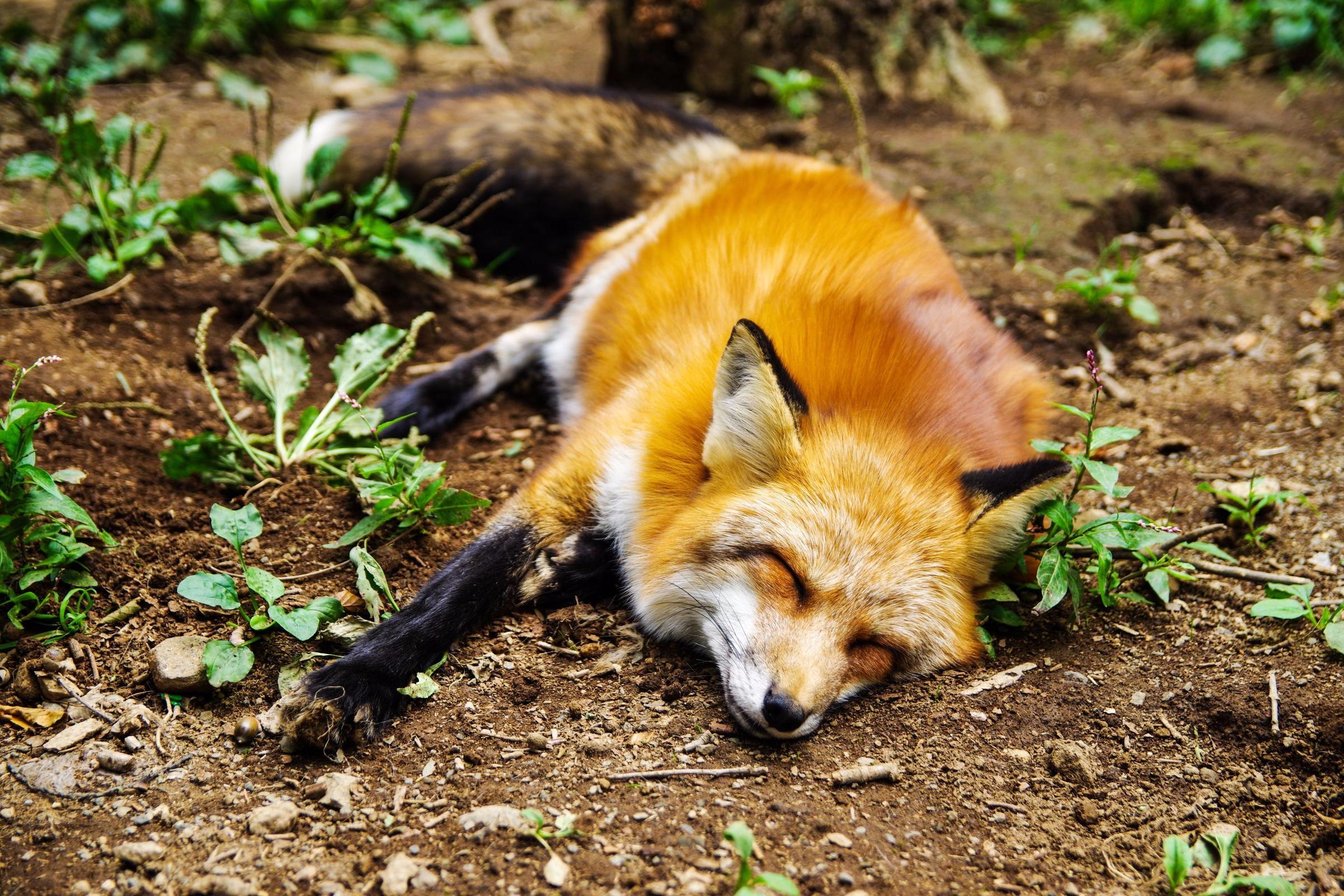 sleeping fox.jpg