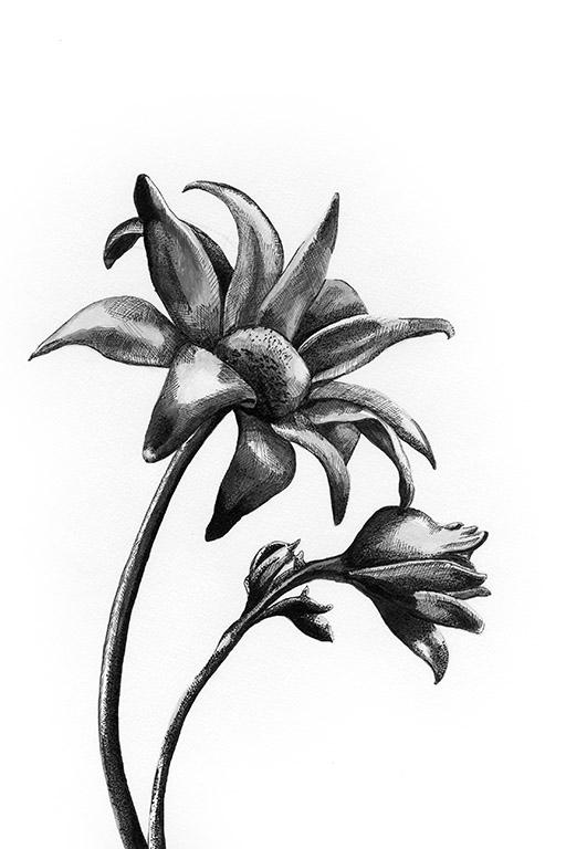 FLANNEL FLOWER.jpg