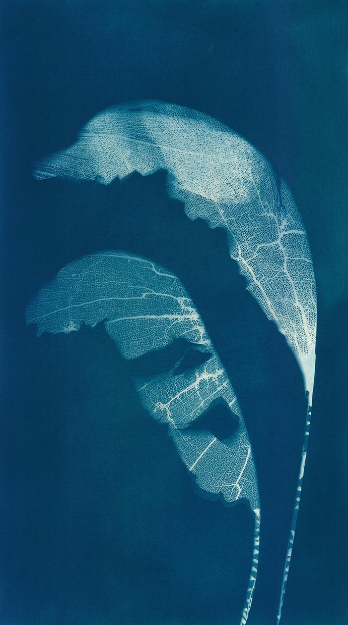 Heliconia Fans   Cyanotype